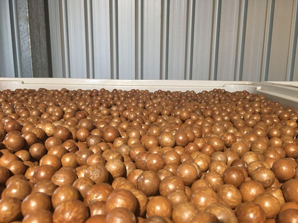 Rửa sạch lớp vỏ hạt giúp tăng chất lượng thành phầm macca