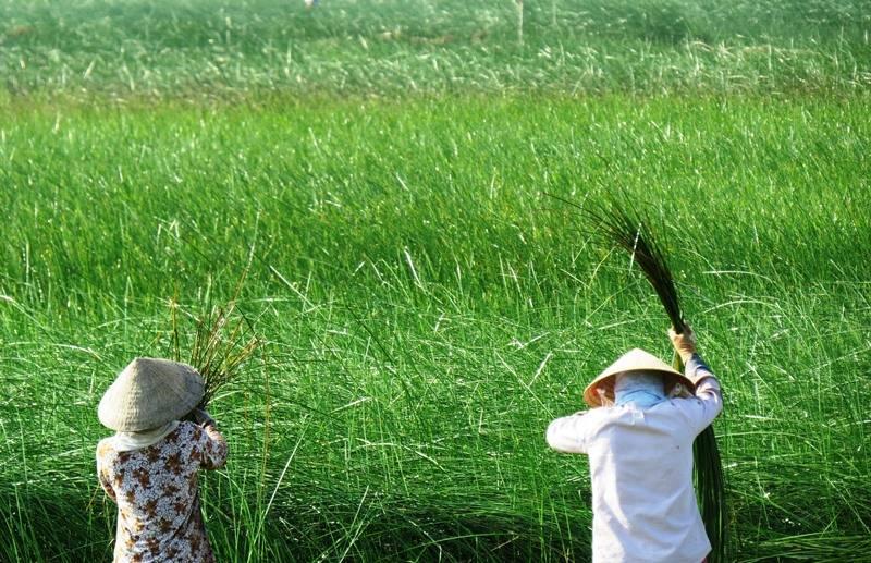 Thu hoạch cây cỏ bàng